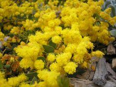 Acacia Cascade --- For more Australian native plants visit austraflora.com Climbers, Native Plants, Acacia, Tucson, Permaculture, Bonsai, Nativity, Garden Ideas, Cover
