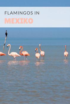 Flamingos in Mexiko -Yucatan