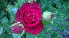 RunoMaalari: Se kaunein ruusu...