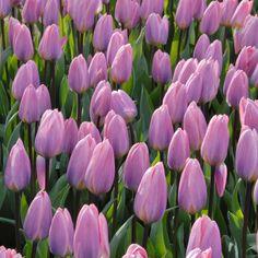 Die Tulpe 'Light and Dreamy' blüht in changierendem Violett und Pink - wunderschön! Pflanzzeit ist im Herbst - online bestellbar bei www.fluwel.de