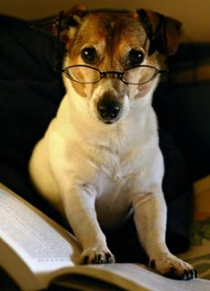 Jack Russel Terrier Reading a book Jack Russell Terriers, Jack Russell Puppies, I Love Dogs, Puppy Love, Cute Dogs, Puppy Pics, Fox Terrier, White Terrier, Terrier Mix