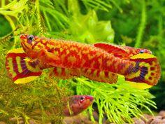 Killifish - Scriptaphyosemion etzeli Lungi