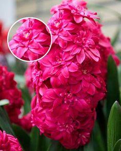 Hyacinth Hollyhock