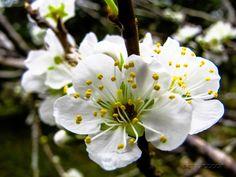 Florada da Ameixa