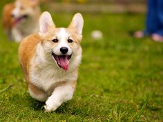 In some ways, caring for a dog is almost like caring for a kid - a big, furry, slobbery kid. Dog care is a tremendous amount of work, and it can be hard Dog In Spanish, Fluffy Corgi, Short Dog, Corgi Pictures, Puppy Face, Pembroke Welsh Corgi, New Puppy, Dogs And Puppies, Corgi Puppies