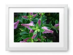 The Hebe is a plant mostly native to New Zealand. Of roughly 100 species world-wide, New Zealand has Photography For Sale, New Zealand, Nativity, Canvas, Flowers, Plants, Image, Tela, The Nativity
