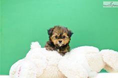 Meet Teacup Tara a cute Morkie / Yorktese puppy for sale for $595. Teacup Tara, WWW.AFFORDABLEPUP.COM