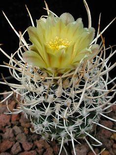 Pediocactus peeblesianus var. fickeinsenii SB468