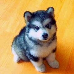 Chase is getting a husky puppy for his birthday from granny and grampy~ cindy