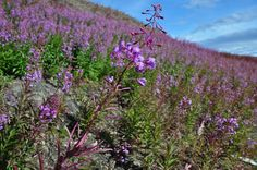 Beautiful fireweed along the Dempster Highway! www.northerntime.net