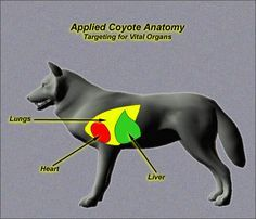 Coyote anatomy and other information about coyote predator culling. Coyote Hunting Gear, Bow Hunting Tips, Predator Hunting, Fox Hunting, Hunting Guns, Archery Hunting, Pheasant Hunting, Coyote Trapping, Varmint Hunting