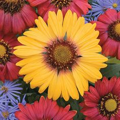 A Gaillardia (Blanket Flower) with huge golden blooms with a blush of rosy-pink at the base.