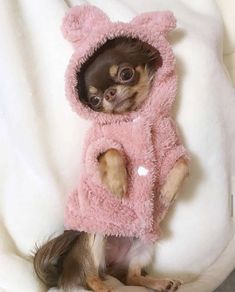 Cute Chihuahua, Chihuahua Puppies, Cute Puppies, Cute Small Animals, Cute Baby Animals, Funny Animals, Dressage, Cute Dogs Breeds, Teacup Puppies