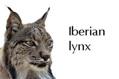 the iberian lynx habitat features and endangerment Top 10 most beautiful endangered animals 16  6 iberian lynx  the extreme population depletion of iberian lynx is caused by illegal hunting and habitat loss.