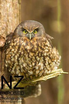 New Zealand Ruru Owl All Puffed Up to Look Bigger Chris Helliwell Owl Bird, Pet Birds, Nocturnal Birds, Owl Eyes, Owl Always Love You, Beautiful Owl, Wise Owl, Birds Of Prey, Love Birds