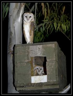 Build a Barn Owl House | Barn owls stand guard duty in their new home. Have enough wood laying around could make this.