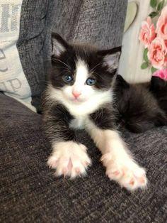 four month black n white kitten healthy http://ift.tt/2zlt9fz