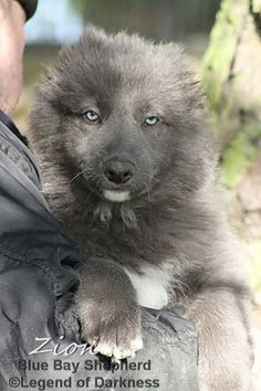 Dog Training With a Training Collar or Choke Collar Blue German Shepherd, German Shepherd Puppies, Shepherd Dogs, German Shepherds, Shih Tzu, Puppies With Blue Eyes, Schaefer, Snow Dogs, Smiling Dogs