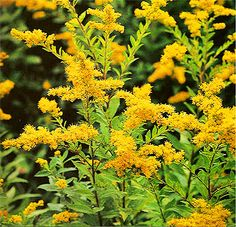 Golden Rod Solidago virgaurea Herb of Joy