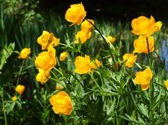 Купальницы, или троллиусы. В середине мая одно из главных украшений цветника — нарядные и неприхотливые Купальницы, или Троллиусы. В различных регионах для различных видов купальницы существуют свои собственные названия: купава, бубенчики, жарки, огоньки, сибирская роза, авдотки, колотушки, кучерская травка и тд. Цветоводы же часто называют купальницу — троллиусом, что является адаптацией её латинского названия. Фото: © Anita