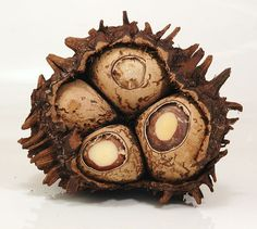 Tagua, ivory palm (Phytelephas) #nut #seed #pod #cluster #brown