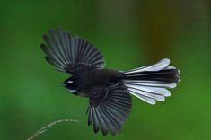 Fantail in flight tattoo inspo New Zealand Wildlife, Tui Bird, Polynesian Art, Ceramic Animals, Nature Journal, Animal Projects, Reptiles And Amphibians, Colorful Birds, Wild Birds