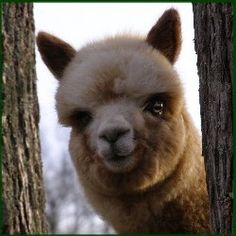 Lots to consider when choosing the perfect pet alpacas!
