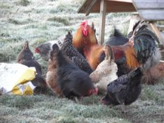 My attempt this morning to get a picture of the #chickens was scuppered when a bag of layers pellets was brought into the #poultry paddock. After that none of them would stay still long enough for me to get a decent photo. I'm sure they were doing it on purpose too.
