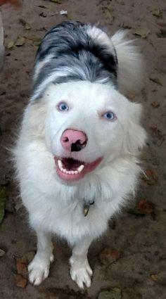 Meet Blanca, deaf Australian Shepherd Dog in need of Sponsorship ~ Paw-fect Match Rescue in NC
