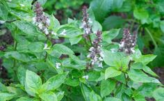 Health Benefits And Uses For Basil Seeds | Care2 Healthy Living