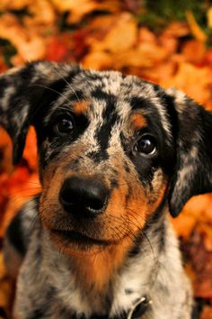 Harlequin beauceron / Beauce Shepherd / Chien Berger de Beauce #Dogs #Puppy overcuteness!