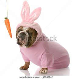 unimpressed looking english bulldog dressed up as easter bunny sitting beside carrot dangling on a string with reflection on white background