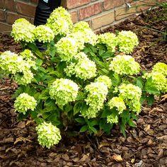 Hydrangea paniculata 'Little Lime' - Modern Hydrangea Paniculata, Limelight Hydrangea, Hydrangea Care, Little Lime Hydrangea, Green Hydrangea, Green Flowers, White Flowers, Hydrangeas For Sale, Hydrangea Landscaping
