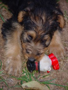 "https://flic.kr/p/4qYkqA | ""Little One"" 9 weeks Airedale"