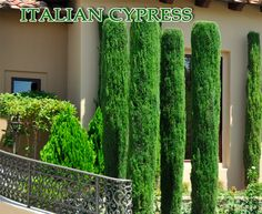 Italian cypress Tree Seeds (Cupressus sempervirens) Also Know as,Tuscan, or Graveyard Cypress,