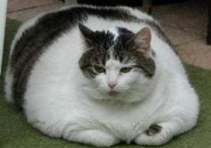 thick THIS WOULD BE ME AS A CAT
