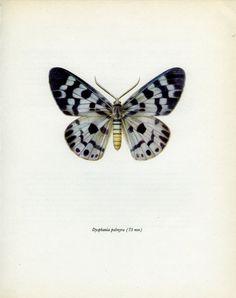 Vintage Moth Print Blue Tiger Moth 83 by MarcadeVintagePrints