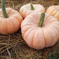 Pink Pumpkins are being sold for Breast Cancer Research, support the cause and visit a nursery near you! Fine Porcelain, Porcelain Doll, Painted Porcelain, Hand Painted, Pink Pumpkins, China Mugs, Velvet Cushions, Autumn Art, Doll Head