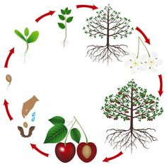Illustration about Life cycle of a cherry tree on a white background, beautiful illustration. Illustration of health, green, berry - 119602578 Plant Lessons, Tree Images, Plant Science, Cherry Tree, Worksheets For Kids, Free Illustrations, Life Cycles, Small Groups, Preschool Activities