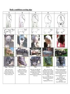 Body scoring for pigs. Check out our page that discusses what healthy versus unhealthy pigs look like. Pig Farming, Backyard Farming, Chickens Backyard, Pot Belly Pig Food, Pot Belly Pigs, Mini Potbelly Pigs, Mini Pigs, Pet Pigs, Baby Pigs