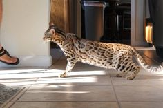 Zoey - F1 bengal - Brown/Black spotted bengal tabby. First generation after asian leopard cat and bengal.