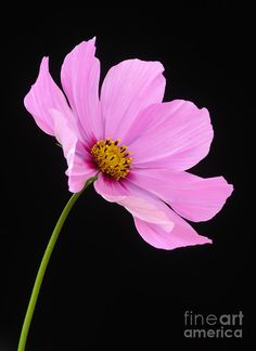Cosmos Flower | Pink Cosmos Flower On Black Background Photograph