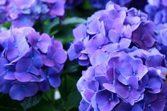 blue hydrangea---can never have too many in your garden