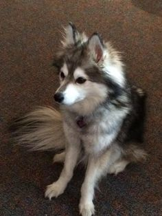 Meet Millie, one of our office dogs. She is an Alaskan Klee Kai!