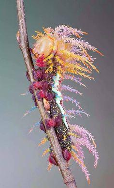 Une chenille d'un saturniidae (qui sera un magnifique papillon de nuit...)