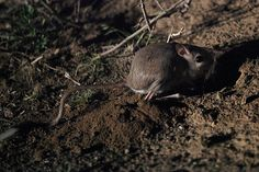 Blanford's Jerboa | blanford s jerboa by whalemaker on flickr Rodents, Hamsters, Mice, Animals, Computer Mouse, Animaux, Animal, Animales, Animais