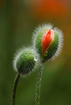 Poppy bud by Marie-Ann Olsson on 500px