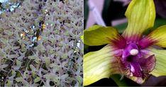 Una cascada de orquídeas en casa: Dendrobium