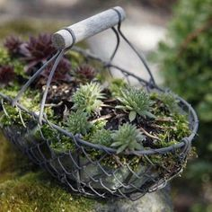 Dachwurz Check more at gartensnackrezep Spice and medicinal herbs delight Garden Types, Herb Garden Design, Diy Garden, Succulents In Containers, Container Flowers, Planting Succulents, Container Gardening, Gardening Tips, Organic Gardening