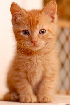 Adorable little ginger kitty and he looks like he's clever